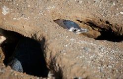 magellanic przytulony pingwin Zdjęcie Royalty Free