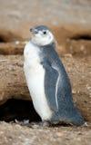magellanic przytulony pingwin Zdjęcie Stock