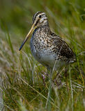 Magellanic Snipe Royalty Free Stock Images