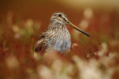 Magellanic Snipe, Gallinago paraguaiae magellanica, portrait in red grass royalty free stock photo