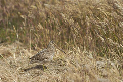 Magellanic Snipe in a grassy meadow Royalty Free Stock Image
