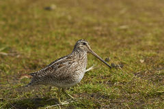 Magellanic Snipe in a grassy meadow Royalty Free Stock Photo