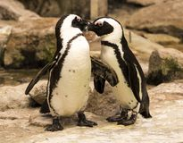 Magellanic Spheniscus magellanicus. Magellanic penguin pair Spheniscus magellanicus Stock Photography