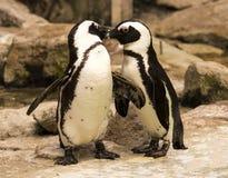 Magellanic Spheniscus magellanicus. Magellanic penguin pair Spheniscus magellanicus Stock Photo