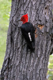 Magellanic Woodpecker Stock Image