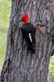 magellanic woodpecker Стоковое Изображение