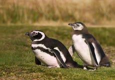 Magellanicpinguïn met het jeugd lopen op gras stock foto's