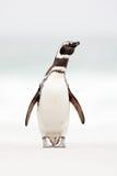 Magellanicpinguïn, Spheniscus-magellanicus, op het witte zandstrand, oceaangolf op de achtergrond, Falkland Islands Pinguïn in A Royalty-vrije Stock Afbeeldingen