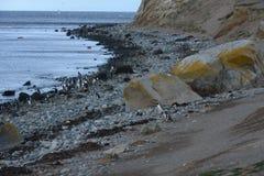 Magellanicpinguïnen bij het pinguïnheiligdom op Magdalena Island in de Straat van Magellan dichtbij Punta Arenas in zuidelijk Chi Royalty-vrije Stock Fotografie