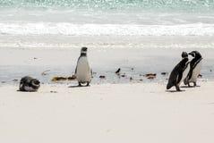 Magellanicpinguïnen op het strand stock foto