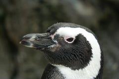 magellanicus蠢企鹅 免版税图库摄影