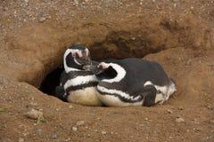 Magellanicus dello Spheniscus di due pinguini di Magellanic ad un'entrata ad un foro Fotografia Stock Libera da Diritti