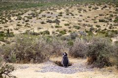 Magellanicus spheniscus пингвина Magellanic на Punta Tombo в Атлантическом океане, Патагонии, Аргентине Стоковое Изображение RF