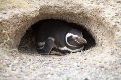 Magellanicus spheniscus пингвина Magellanic на Punta Tombo в Атлантическом океане, Патагонии, Аргентине Стоковое фото RF