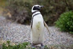 Magellanicus spheniscus пингвина Magellanic на Punta Tombo в Атлантическом океане, Патагонии, Аргентине Стоковое Фото