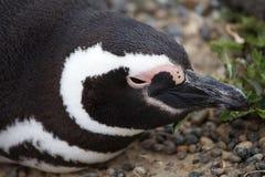 Magellanicus spheniscus пингвина Magellanic на Punta Tombo в Атлантическом океане, Патагонии, Аргентине Стоковые Фото