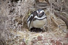 Magellanicus spheniscus пингвина Magellanic с цыпленоком на Punta Tombo в Атлантическом океане, Патагонии, Аргентине Стоковые Фотографии RF