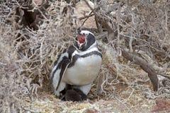 Magellanicus spheniscus пингвина Magellanic с цыпленоком на Punta Tombo в Атлантическом океане, Патагонии, Аргентине Стоковое Фото