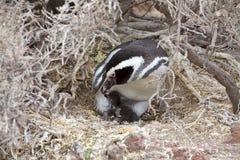 Magellanicus spheniscus пингвина Magellanic с цыпленоком на Punta Tombo в Атлантическом океане, Патагонии, Аргентине Стоковые Фото