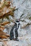 Magellanicus spheniscus пингвина Magellanic Стоковая Фотография