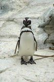 magellenic企鹅 免版税库存照片