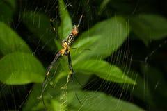 Magen av spindeln royaltyfri fotografi