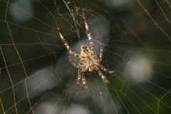 Magen av spindeln per laten för trädgårds- spindel Snälla araneomorphspindlar för Araneus av familjen av Orb-rengöringsduk spindl arkivfoto