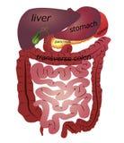 Magen-Darm-Kanal lizenzfreie abbildung