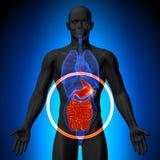 Magen/innanmäte/den lilla inälvan - manlig anatomi av mänskliga organ - x-ray sikt stock illustrationer