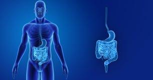 Magen och inälvan zoomar med skelett- föregående sikt stock illustrationer