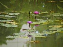 Magenta лилии в пруде Стоковые Изображения RF
