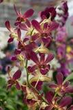 magenta орхидея Стоковое Фото