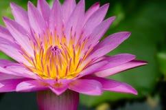 Magenta лотос зацветая в солнечном свете Стоковые Фото