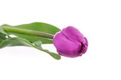Magenta тюльпан изолированный на белой предпосылке Стоковое Изображение RF