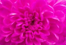 Magenta хризантема Стоковое Изображение