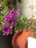 Magenta цвета конец-вверх цветка Стоковое Фото
