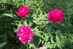 3 magenta цветка officinalis Paeonia Стоковое Изображение