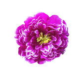 Magenta artificial flower isolated Stock Image
