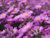 Magenta asters. Stock Image
