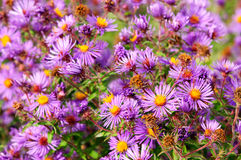 Magenta asters flowerbed Royalty Free Stock Photography