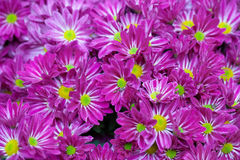 Magenta asters lawn Stock Photography