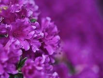 Magenta Azalea. Closeup of magenta azalea flowers Royalty Free Stock Photo