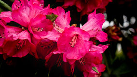 Magenta azalea. Wild rhododendron flowers Stock Photo