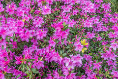 Magenta Azaleas - Background royalty free stock photos
