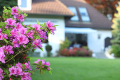 Magenta azaleas in a private garden Stock Photography