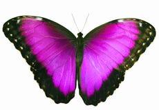 Magenta barwiony motyl odizolowywający na białym tle z rozciągniętymi skrzydłami Zdjęcie Stock