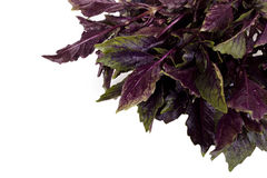 Magenta basil isolated Stock Photography