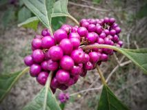 Magenta berries Royalty Free Stock Photo