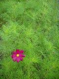 Magenta bloem royalty-vrije stock fotografie