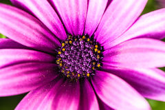 Magenta bloem stock foto's